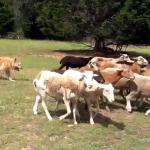 Xelie's last time herding sheep